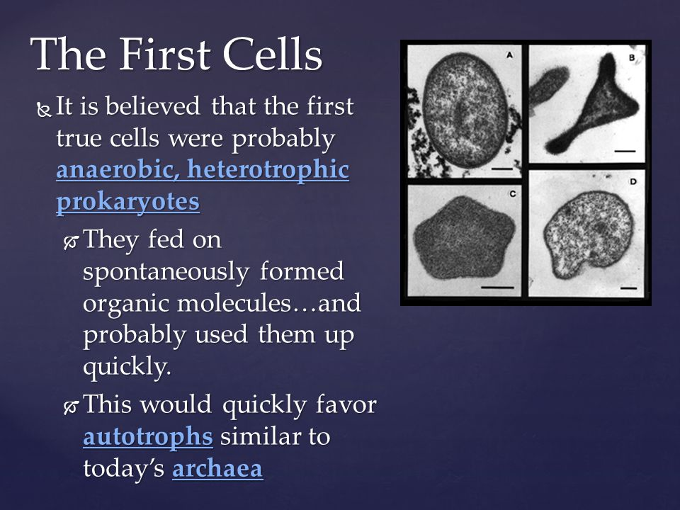It is believed that the first true cells were probably anaerobic, heterotrophic prokaryotes It is believed that the first true cells were probably ana