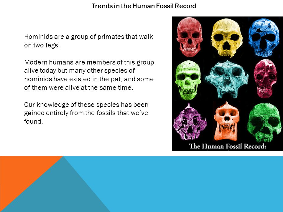 Trends in the Human Fossil Record Hominids are a group of primates that walk on two legs.