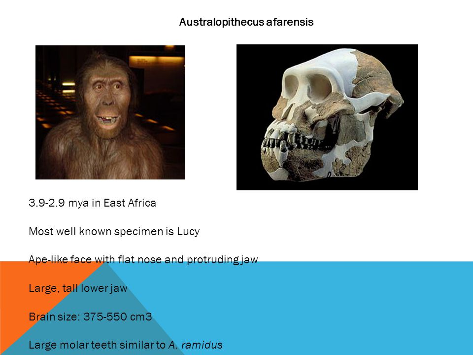 Australopithecus afarensis 3.9-2.9 mya in East Africa Most well known specimen is Lucy Ape-like face with flat nose and protruding jaw Large, tall lower jaw Brain size: 375-550 cm3 Large molar teeth similar to A.