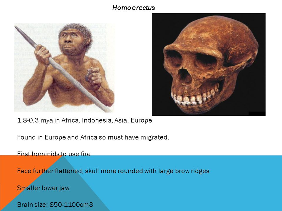 Homo erectus 1.8-0.3 mya in Africa, Indonesia, Asia, Europe Found in Europe and Africa so must have migrated.