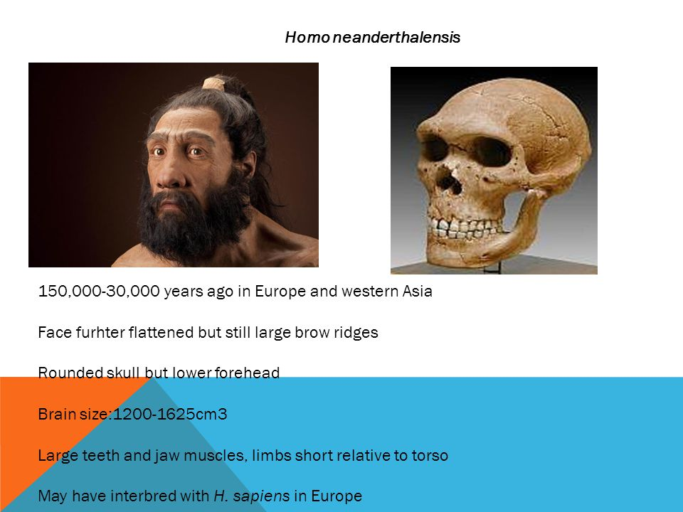 Homo neanderthalensis 150,000-30,000 years ago in Europe and western Asia Face furhter flattened but still large brow ridges Rounded skull but lower forehead Brain size:1200-1625cm3 Large teeth and jaw muscles, limbs short relative to torso May have interbred with H.