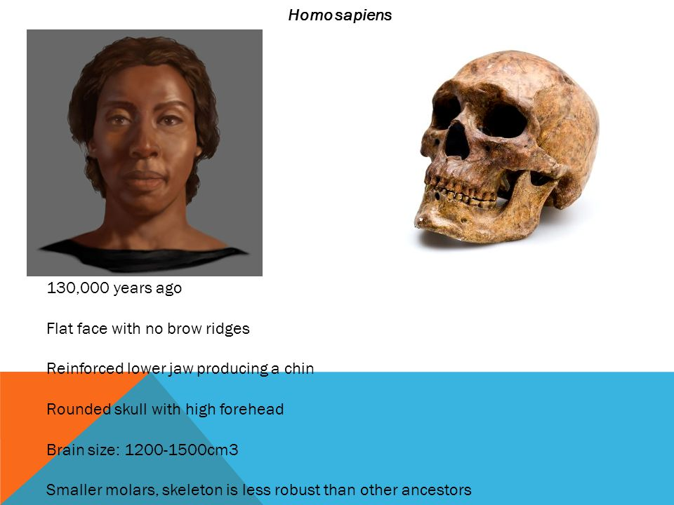 Homo sapiens 130,000 years ago Flat face with no brow ridges Reinforced lower jaw producing a chin Rounded skull with high forehead Brain size: 1200-1500cm3 Smaller molars, skeleton is less robust than other ancestors