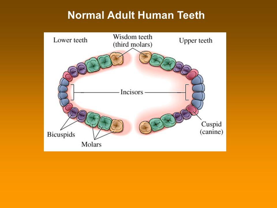 Normal Adult Human Teeth