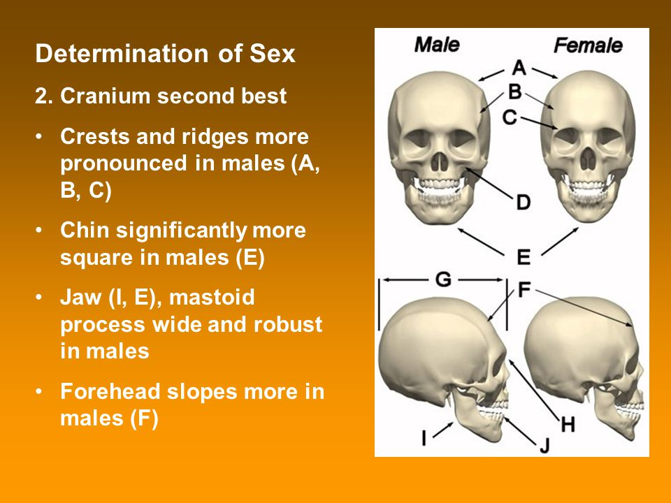 Determination of Sex 2.Cranium second best Crests and ridges more pronounced in males (A, B, C) Chin significantly more square in males (E) Jaw (I, E)