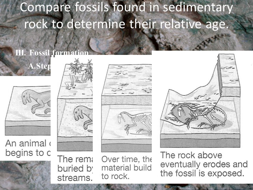 Compare fossils found in sedimentary rock to determine their relative age. III. Fossil formation A.Steps of fossil formation 1.The organism dies 2.the
