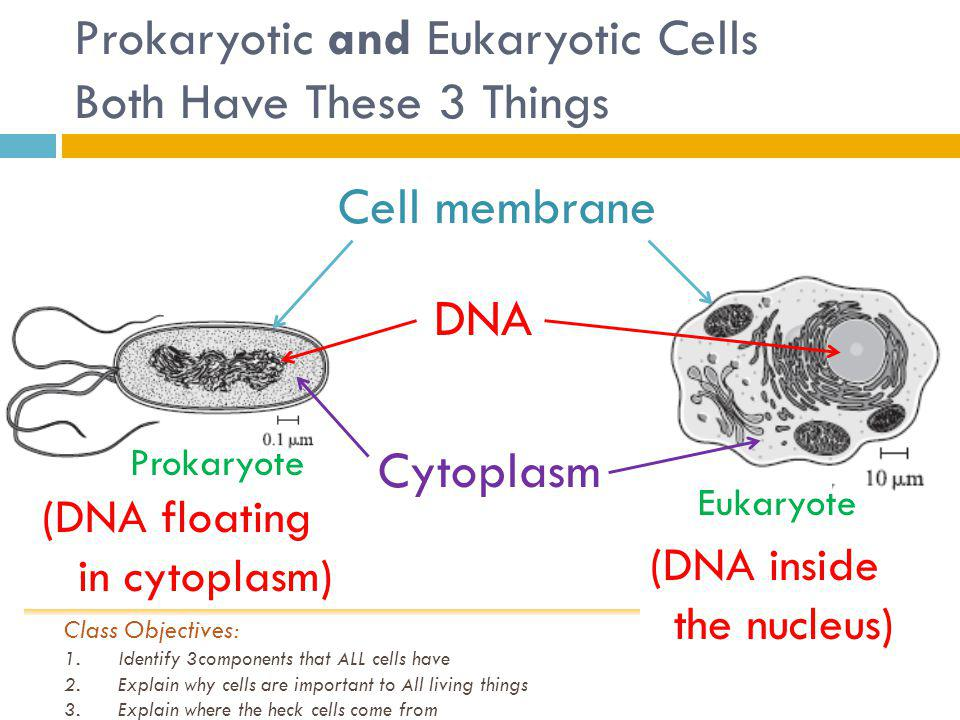 Prokaryotic and Eukaryotic Cells Both Have These 3 Things Cell membrane DNA Cytoplasm (DNA floating in cytoplasm) Prokaryote Eukaryote Class Objectives: 1.Identify 3components that ALL cells have 2.Explain why cells are important to All living things 3.Explain where the heck cells come from (DNA inside the nucleus)