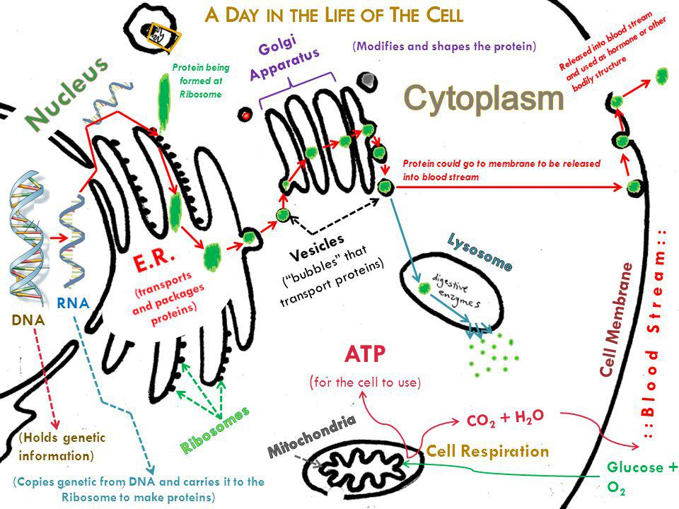 Glucose + O 2 ::Blood Stream:: Cell Respiration CO 2 + H 2 O ATP ( for the cell to use) Vesicles (bubbles that transport proteins) DNA (Holds genetic information) RNA (Copies genetic from DNA and carries it to the Ribosome to make proteins) Protein could go to membrane to be released into blood stream Golgi Apparatus (Modifies and shapes the protein) Protein being formed at Ribosome Cell Membrane Released into blood stream and used as hormone or other bodily structure