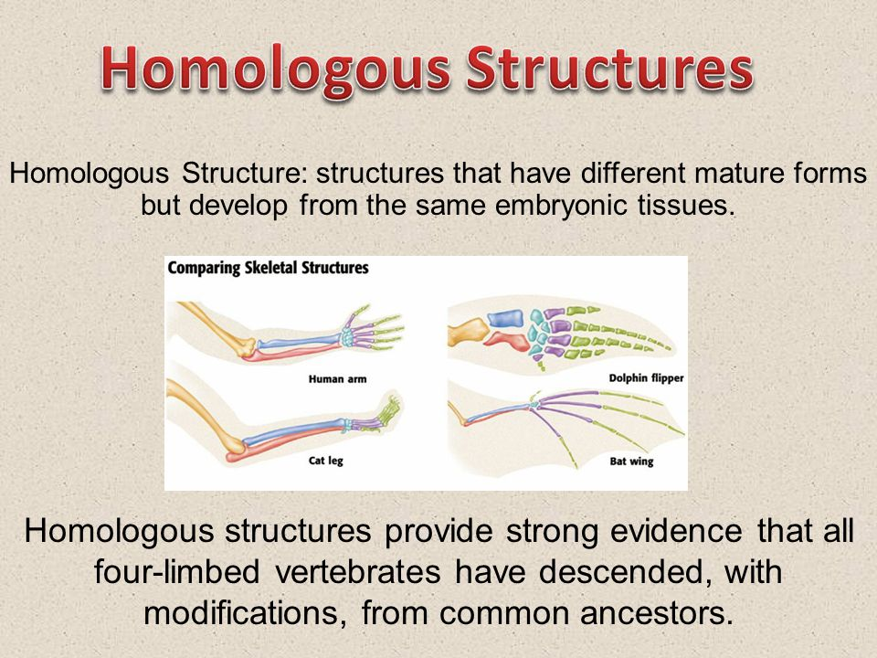 Homologous Structure: structures that have different mature forms but develop from the same embryonic tissues.