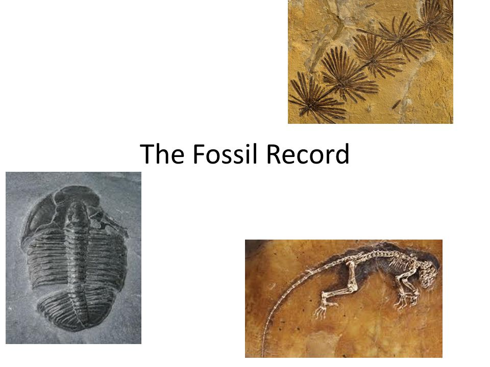 Fossils Preserved remains or traces of ancient organisms – Ex.