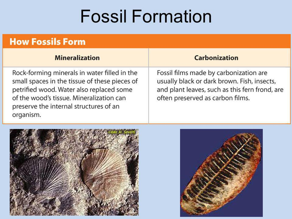 Fossil Formation After an animal dies, any soft tissues animals do not eat break down.