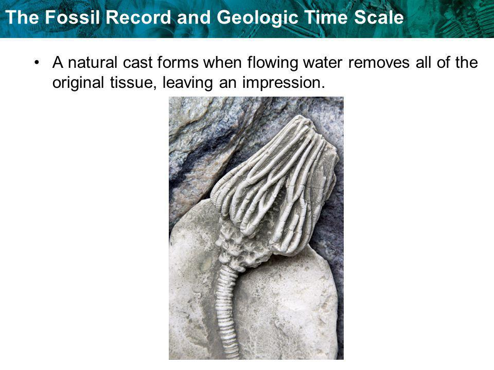 The Fossil Record and Geologic Time Scale A natural cast forms when flowing water removes all of the original tissue, leaving an impression.