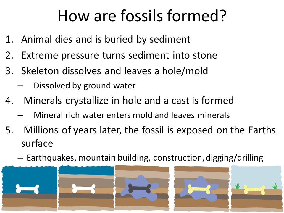 How are fossils formed? 1.Animal dies and is buried by sediment 2.Extreme pressure turns sediment into stone 3.Skeleton dissolves and leaves a hole/mo