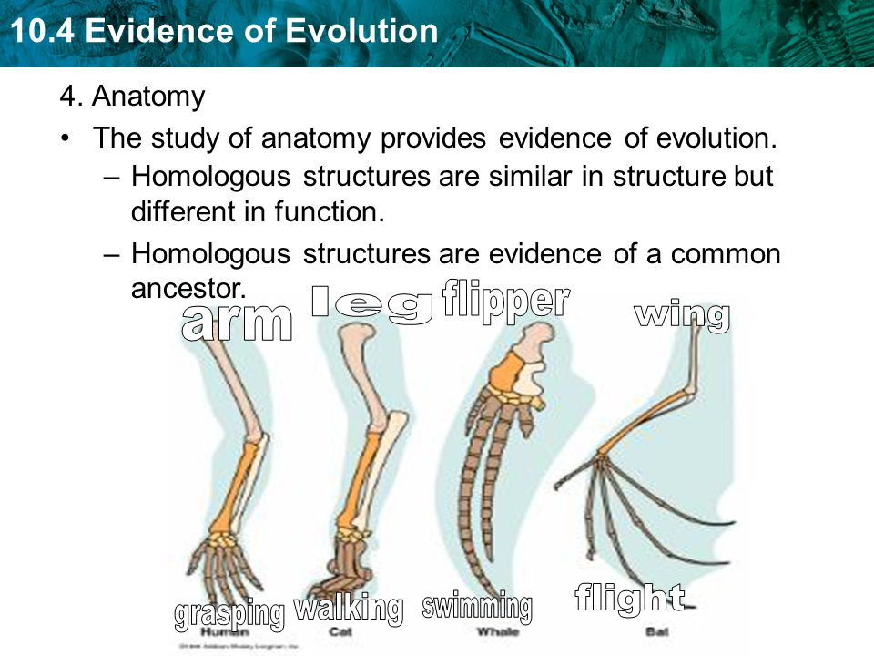 10.4 Evidence of Evolution 4. Anatomy The study of anatomy provides evidence of evolution. –Homologous structures are similar in structure but differe