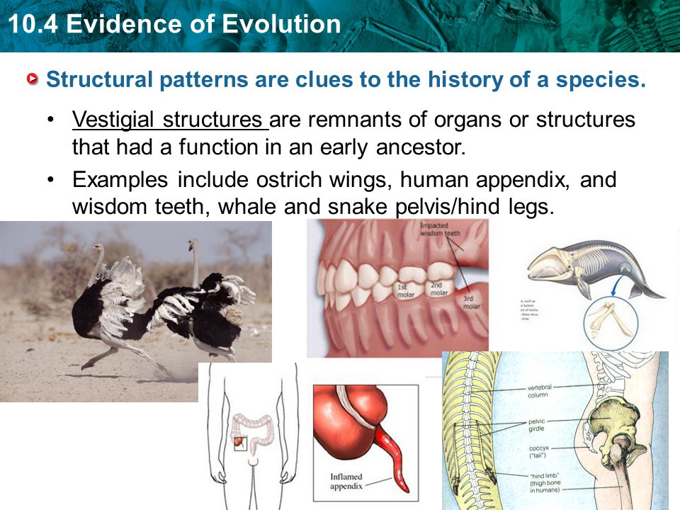 10.4 Evidence of Evolution Vestigial structures are remnants of organs or structures that had a function in an early ancestor. Examples include ostric