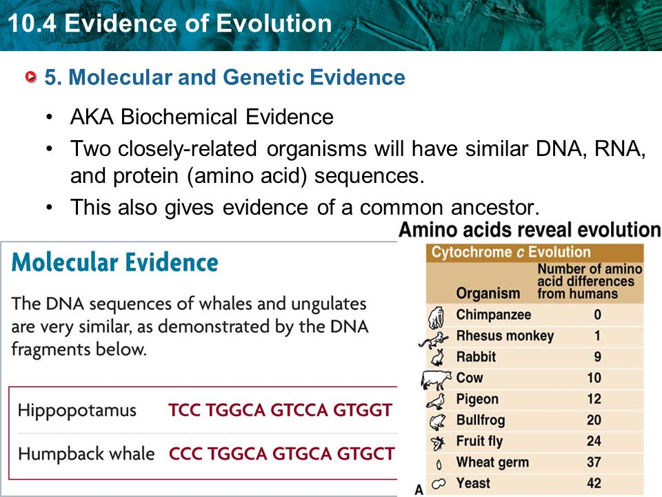 10.4 Evidence of Evolution 5. Molecular and Genetic Evidence AKA Biochemical Evidence Two closely-related organisms will have similar DNA, RNA, and pr