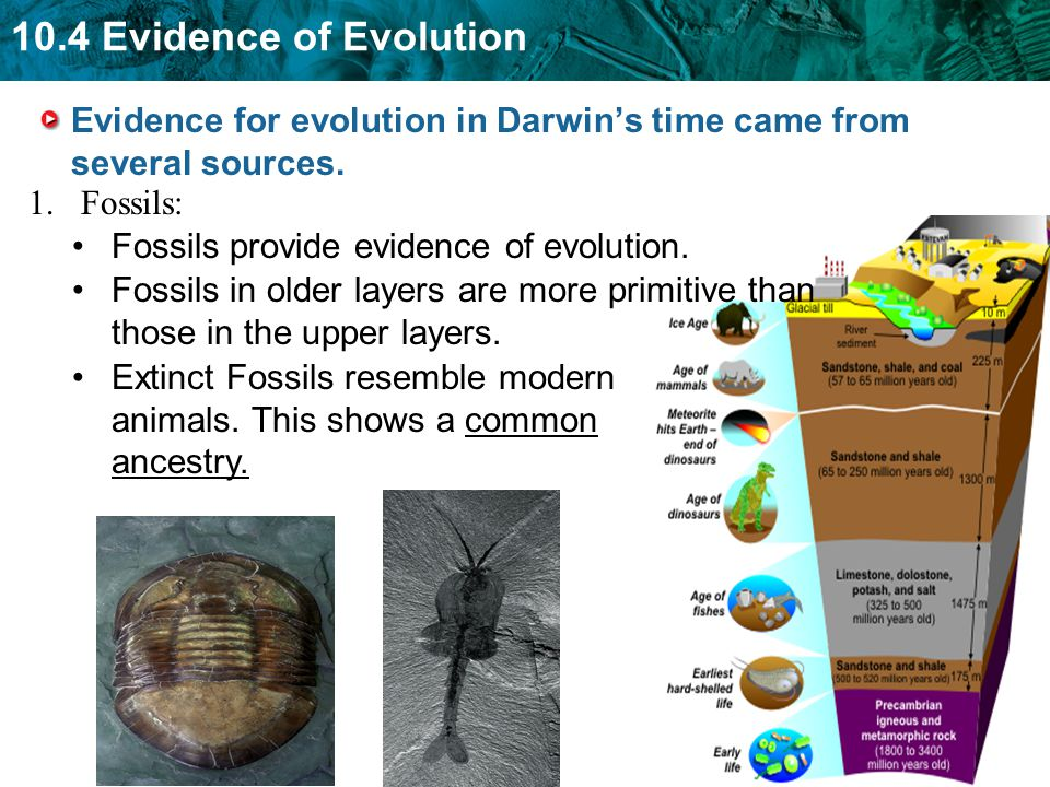 10.4 Evidence of Evolution Evidence for evolution in Darwins time came from several sources. Fossils provide evidence of evolution. Fossils in older l