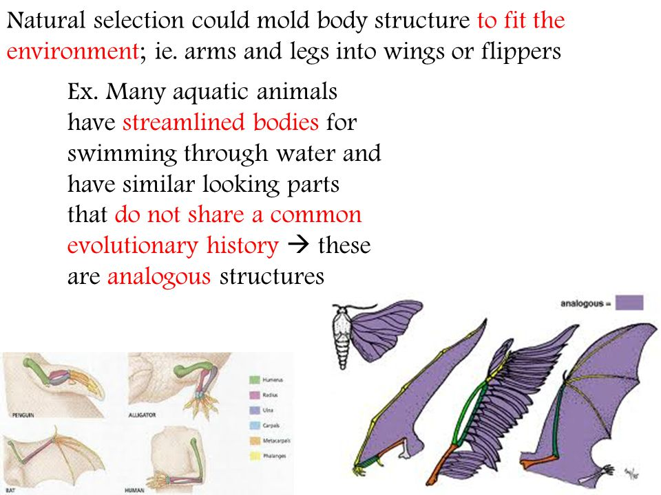 Natural selection could mold body structure to fit the environment; ie. arms and legs into wings or flippers Ex. Many aquatic animals have streamlined