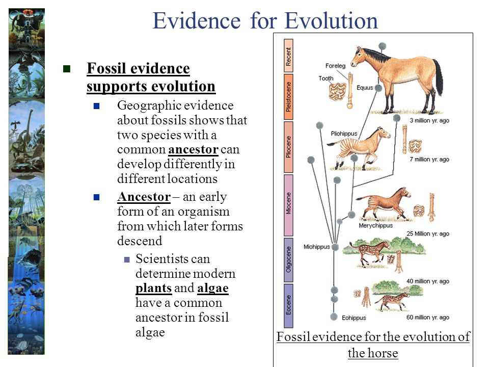Evidence for Evolution Fossil evidence supports evolution Geographic evidence about fossils shows that two species with a common ancestor can develop differently in different locations Ancestor – an early form of an organism from which later forms descend Scientists can determine modern plants and algae have a common ancestor in fossil algae Fossil evidence for the evolution of the horse