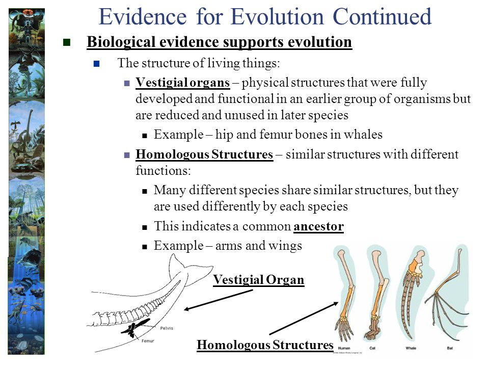 Evidence for Evolution Continued Biological evidence supports evolution The structure of living things: Vestigial organs – physical structures that were fully developed and functional in an earlier group of organisms but are reduced and unused in later species Example – hip and femur bones in whales Homologous Structures – similar structures with different functions: Many different species share similar structures, but they are used differently by each species This indicates a common ancestor Example – arms and wings Vestigial Organ Homologous Structures