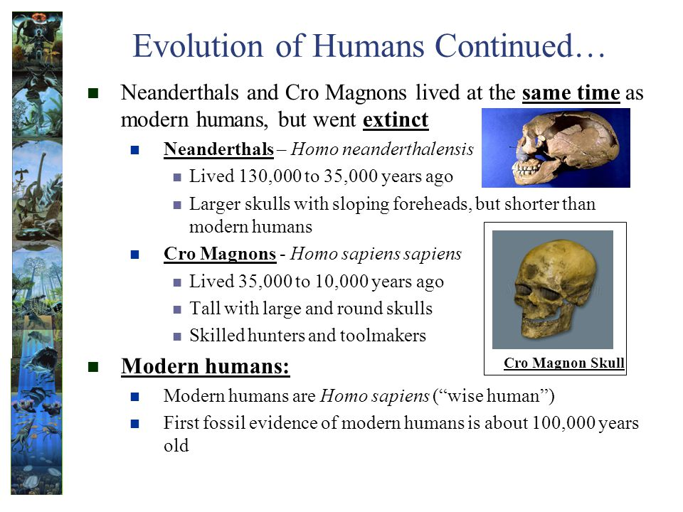 Evolution of Humans Continued… Neanderthals and Cro Magnons lived at the same time as modern humans, but went extinct Neanderthals – Homo neanderthalensis Lived 130,000 to 35,000 years ago Larger skulls with sloping foreheads, but shorter than modern humans Cro Magnons - Homo sapiens sapiens Lived 35,000 to 10,000 years ago Tall with large and round skulls Skilled hunters and toolmakers Modern humans: Modern humans are Homo sapiens (wise human) First fossil evidence of modern humans is about 100,000 years old Cro Magnon Skull