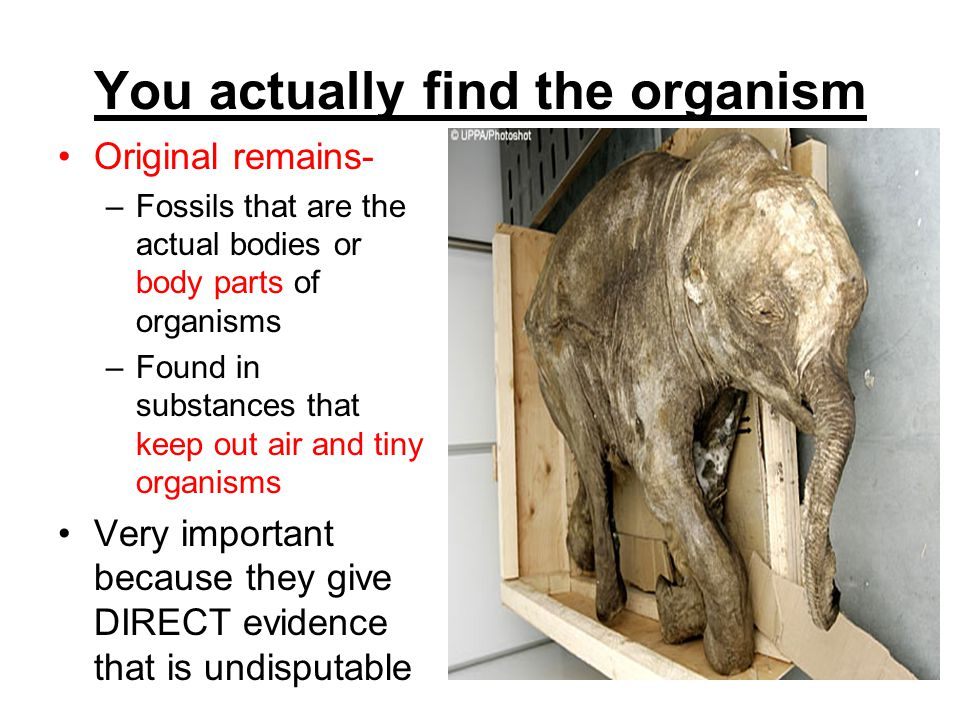 You actually find the organism Original remains- –Fossils that are the actual bodies or body parts of organisms –Found in substances that keep out air