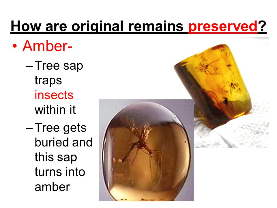 How are original remains preserved? Amber- –Tree sap traps insects within it –Tree gets buried and this sap turns into amber