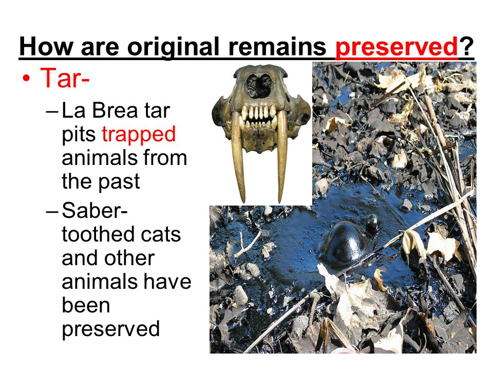 How are original remains preserved? Tar- –La Brea tar pits trapped animals from the past –Saber- toothed cats and other animals have been preserved