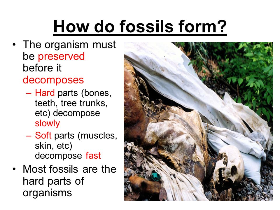 How do fossils form? The organism must be preserved before it decomposes –Hard parts (bones, teeth, tree trunks, etc) decompose slowly –Soft parts (mu