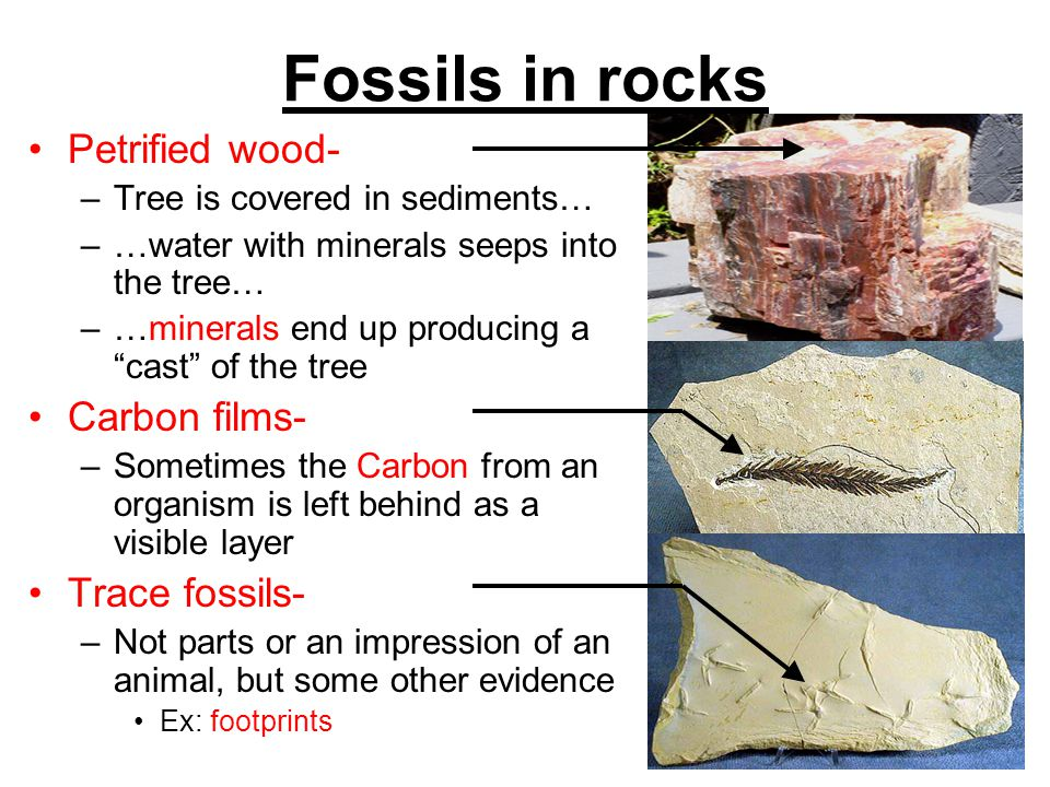 Fossils in rocks Petrified wood- –Tree is covered in sediments… –…water with minerals seeps into the tree… –…minerals end up producing a cast of the t