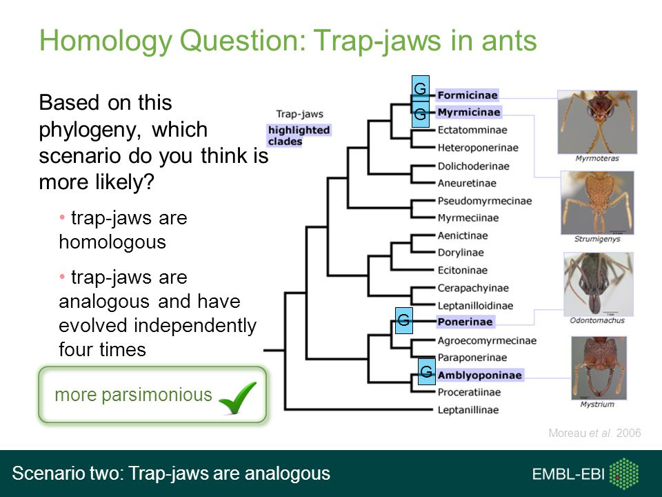 Homology Question: Trap-jaws in ants Based on this phylogeny, which scenario do you think is more likely? trap-jaws are homologous trap-jaws are analo