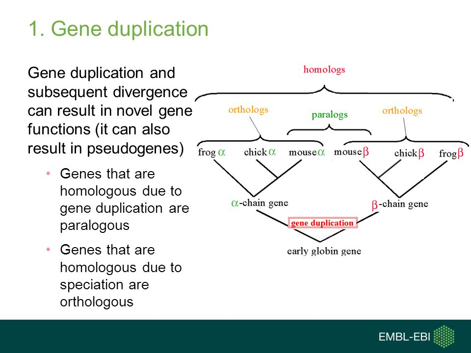1. Gene duplication Gene duplication and subsequent divergence can result in novel gene functions (it can also result in pseudogenes) Genes that are h