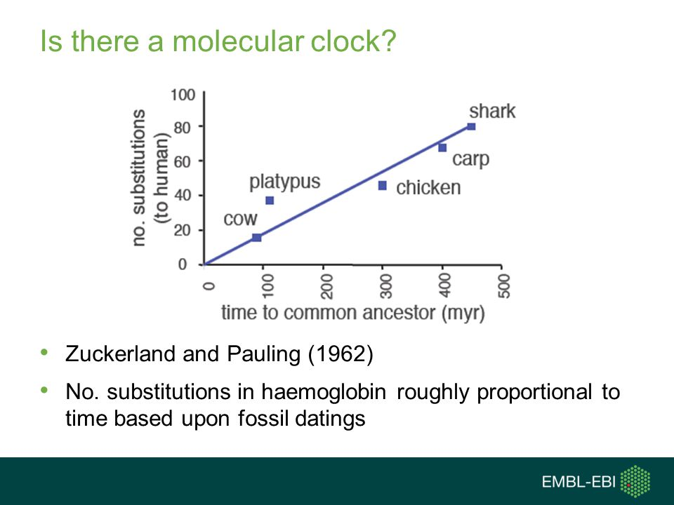 Is there a molecular clock? Zuckerland and Pauling (1962) No. substitutions in haemoglobin roughly proportional to time based upon fossil datings