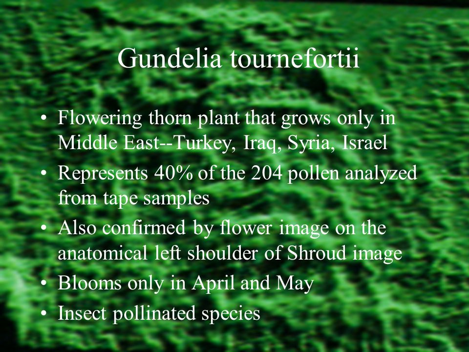 Gundelia tournefortii Flowering thorn plant that grows only in Middle East--Turkey, Iraq, Syria, Israel Represents 40% of the 204 pollen analyzed from tape samples Also confirmed by flower image on the anatomical left shoulder of Shroud image Blooms only in April and May Insect pollinated species