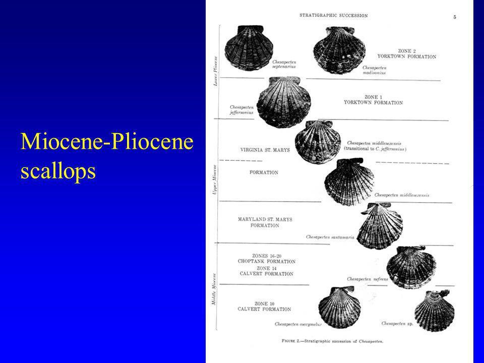 Miocene-Pliocene scallops
