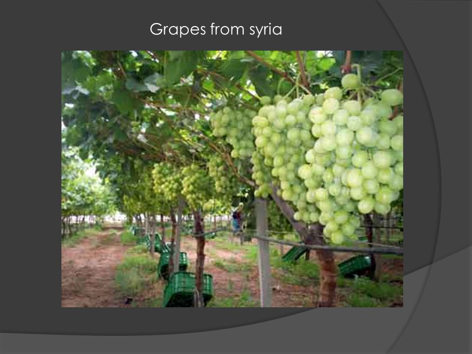 Grapes from syria