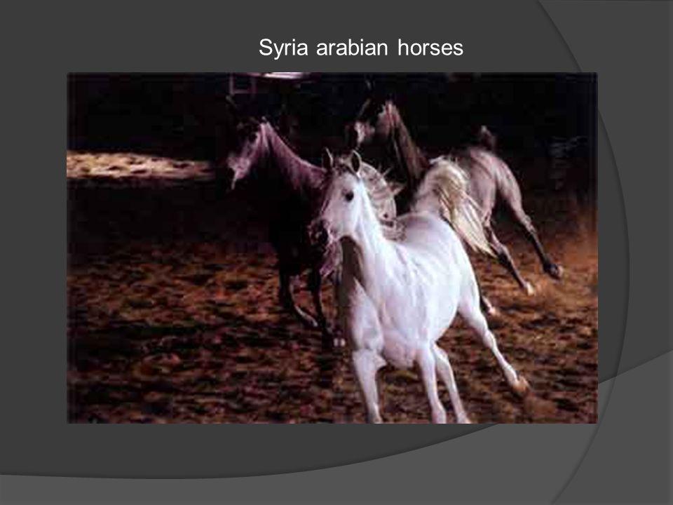 Syria arabian horses