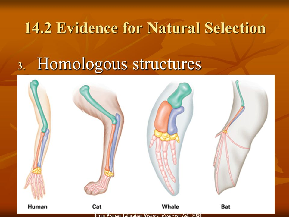 14.2 Evidence for Natural Selection 3. Homologous structures From Pearson Education Biology: Exploring Life, 2004