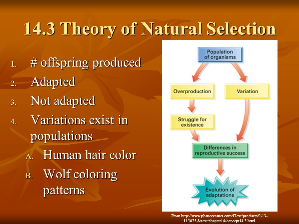 14.3 Theory of Natural Selection 1. # offspring produced 2. Adapted 3. Not adapted 4. Variations exist in populations A. Human hair color B. Wolf colo