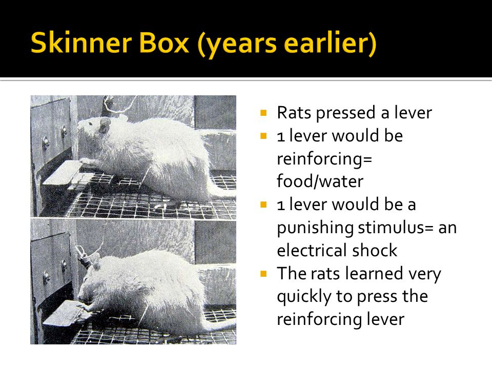 Rats pressed a lever 1 lever would be reinforcing= food/water 1 lever would be a punishing stimulus= an electrical shock The rats learned very quickly to press the reinforcing lever