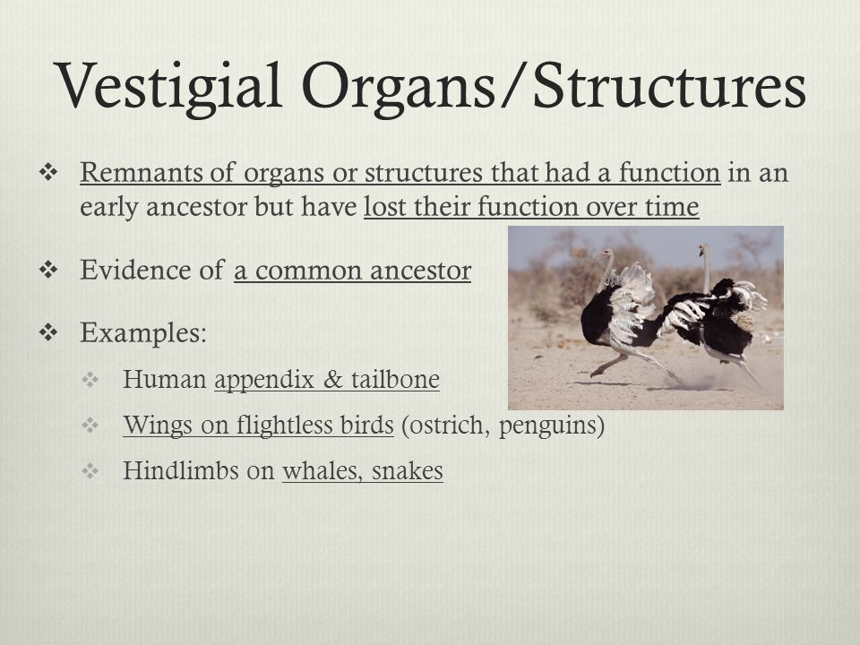 Vestigial Organs/Structures Remnants of organs or structures that had a function in an early ancestor but have lost their function over time Evidence of a common ancestor Examples: Human appendix & tailbone Wings on flightless birds (ostrich, penguins) Hindlimbs on whales, snakes