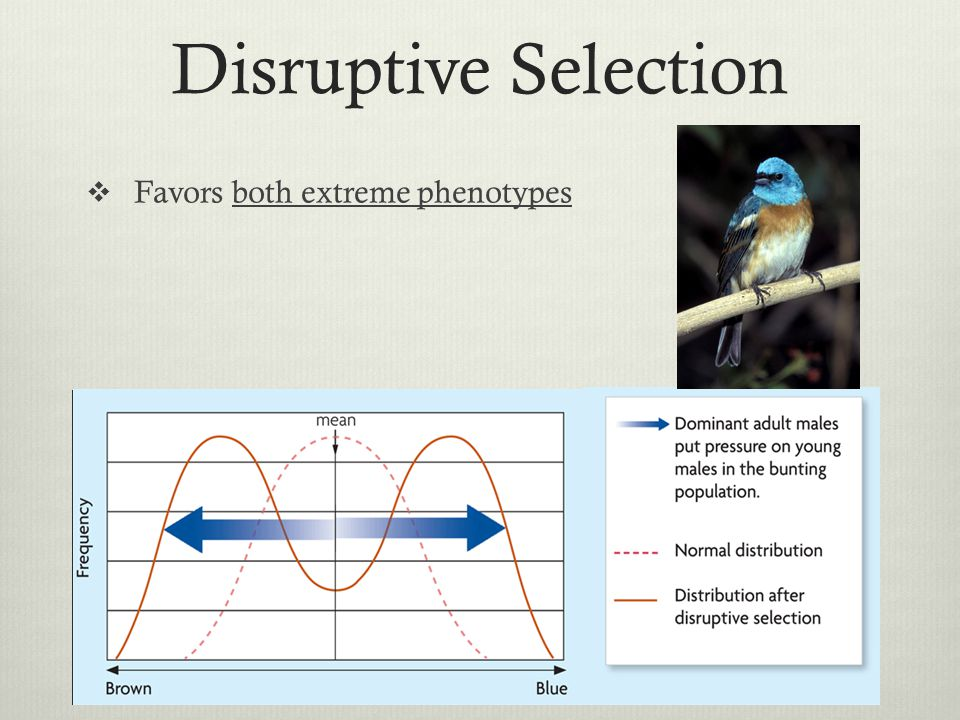 Disruptive Selection Favors both extreme phenotypes