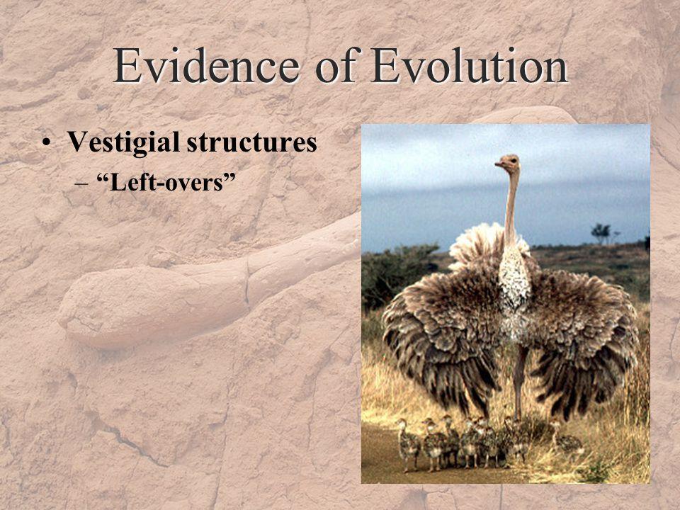 Evidence of Evolution Vestigial structures –Left-overs