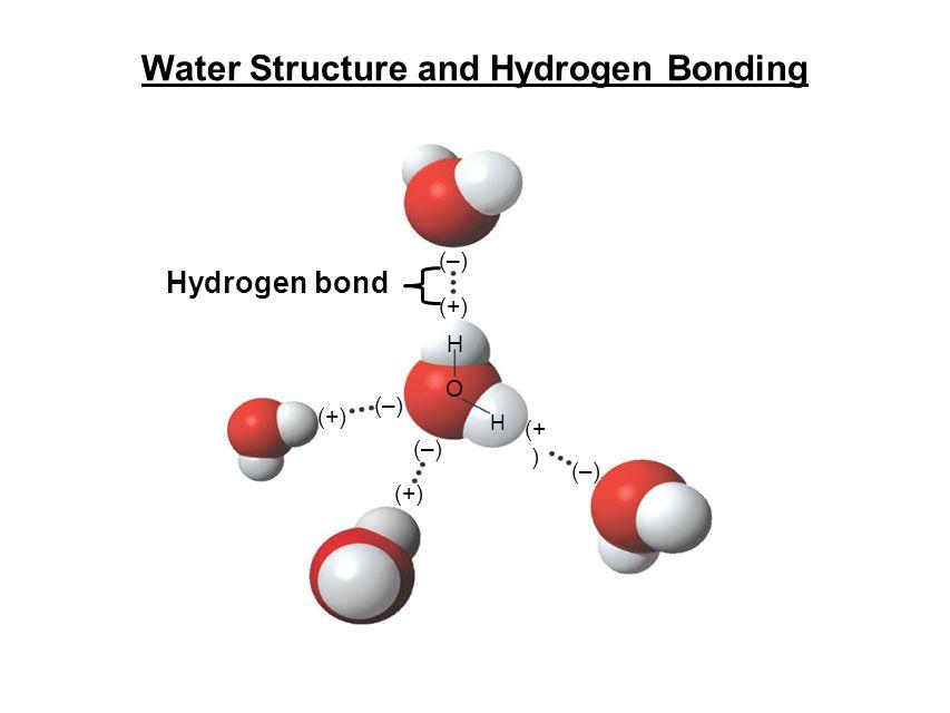 Hydrogen bond (+) H H (–) O