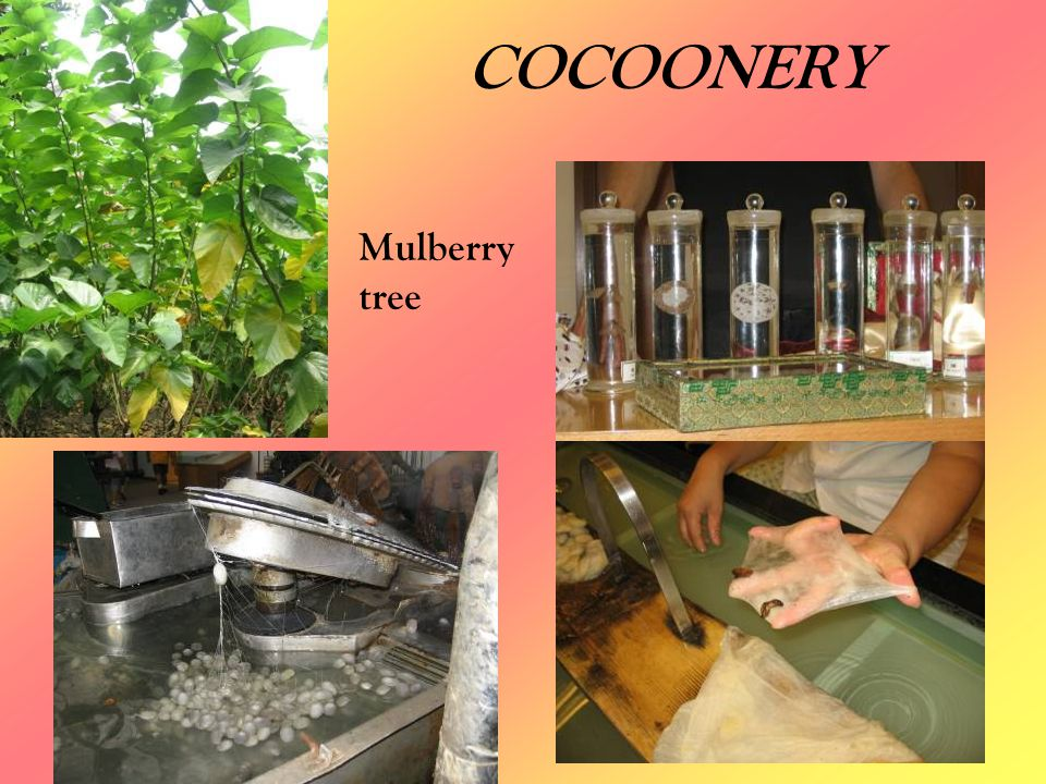 COCOONERY Mulberry tree