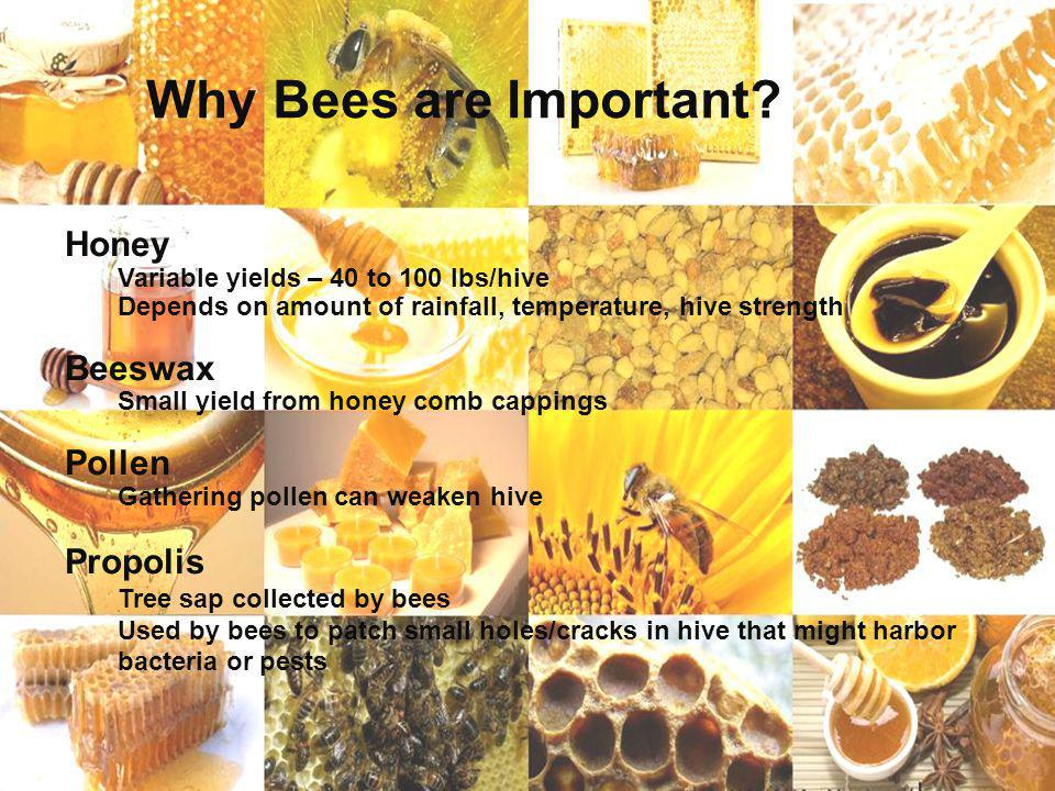 Page 12 Why Bees are Important? Honey Variable yields – 40 to 100 lbs/hive Depends on amount of rainfall, temperature, hive strength Beeswax Small yie