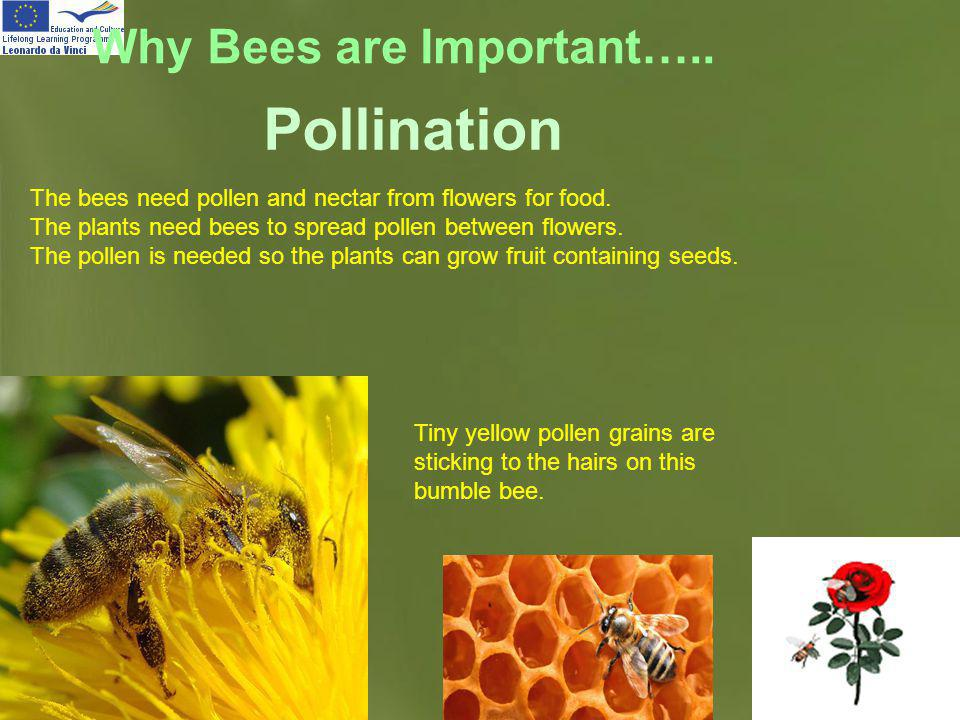 Page 14 Why Bees are Important….. The bees need pollen and nectar from flowers for food. The plants need bees to spread pollen between flowers. The po