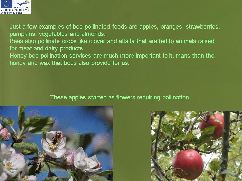 Page 15 Just a few examples of bee-pollinated foods are apples, oranges, strawberries, pumpkins, vegetables and almonds. Bees also pollinate crops lik