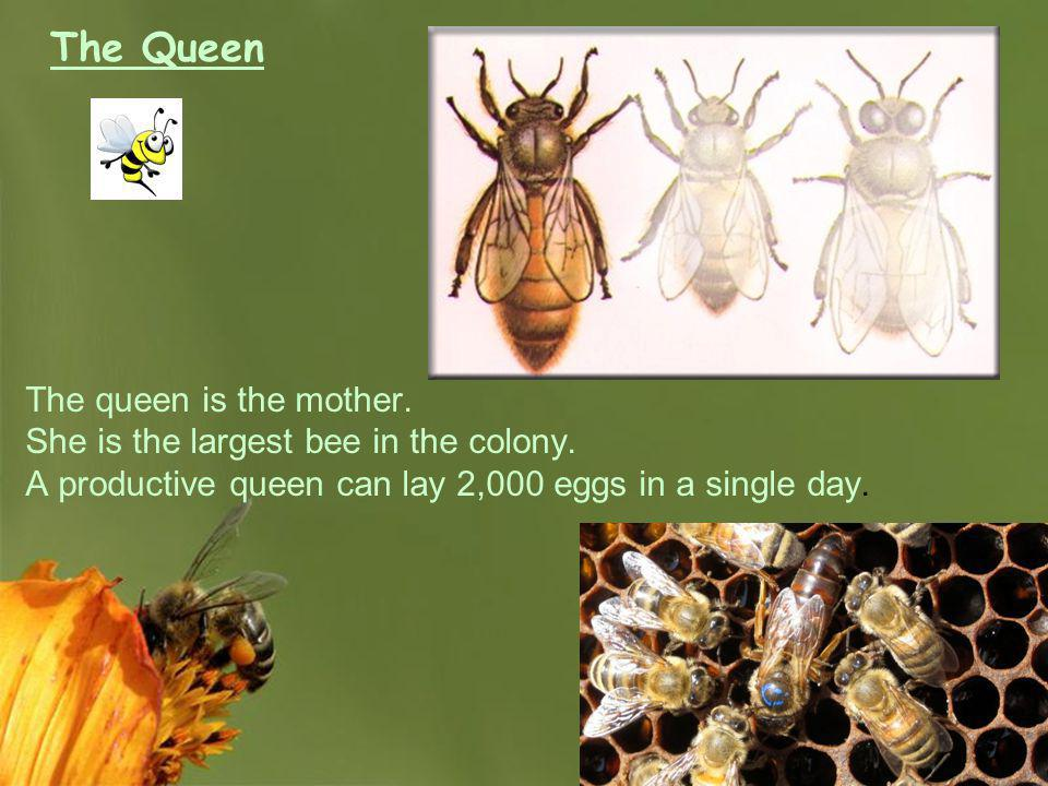 Page 20 The Queen The queen is the mother. She is the largest bee in the colony. A productive queen can lay 2,000 eggs in a single day.