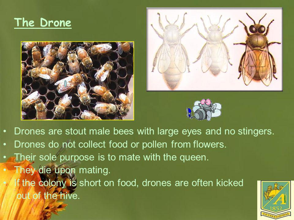 Page 22 The Drone Drones are stout male bees with large eyes and no stingers. Drones do not collect food or pollen from flowers. Their sole purpose is