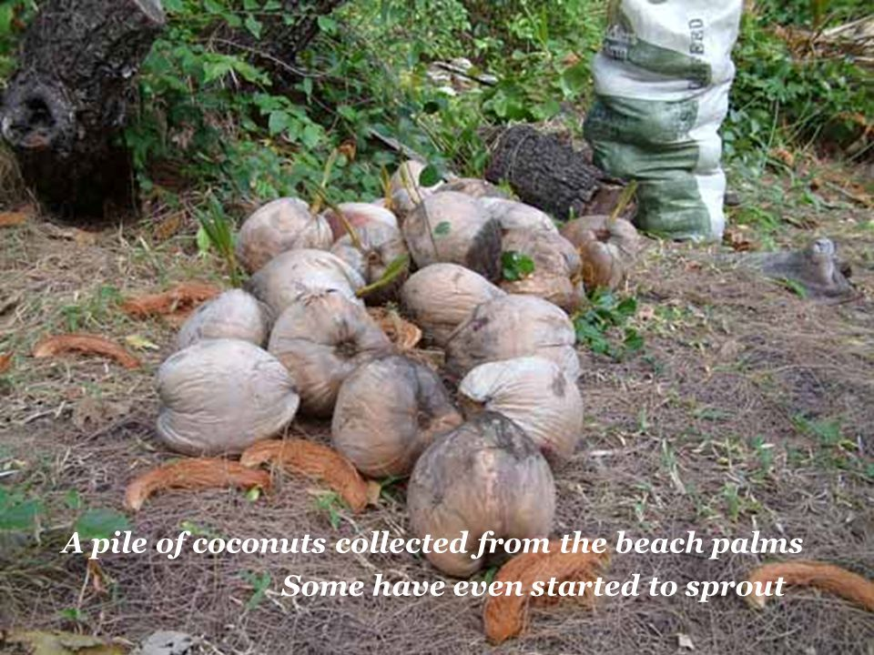 A pile of coconuts collected from the beach palms Some have even started to sprout